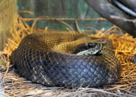Cottonmouth/Water Moccasin