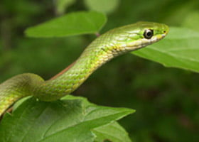 Florida Rough Green Snake